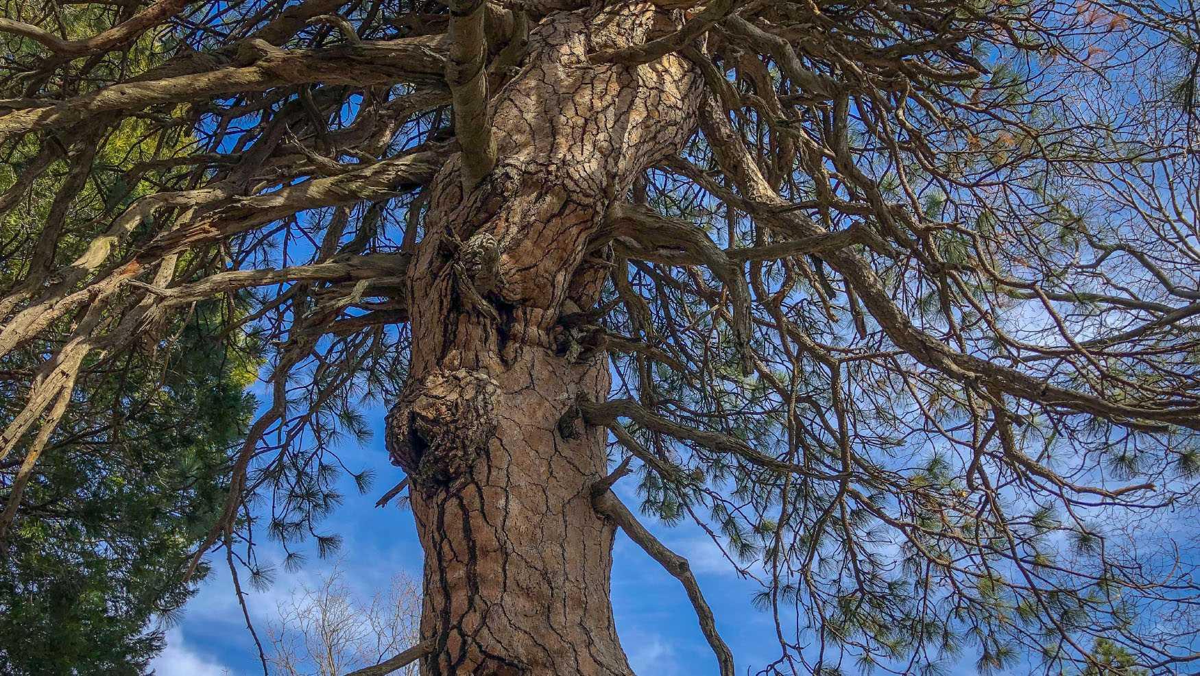 Lake Arrowhead Tree